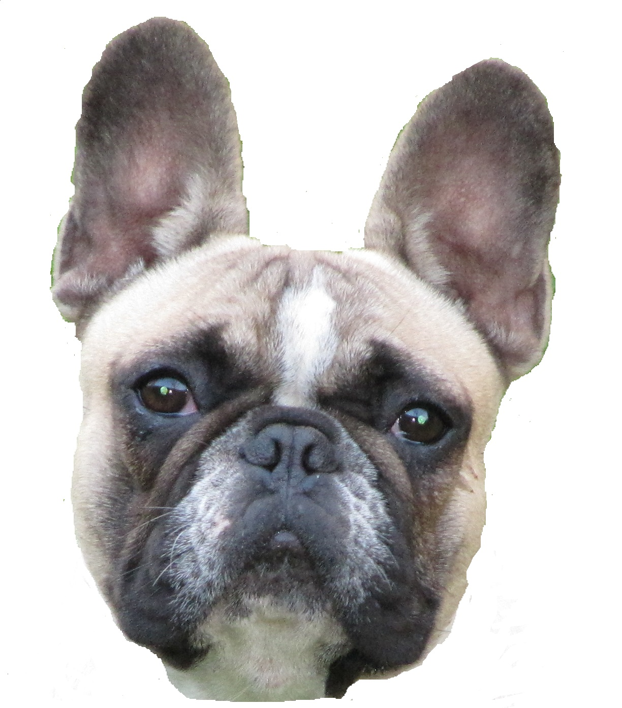 Gamecastleallevamento bouledogue francese pensione cani for Piccolo in francese